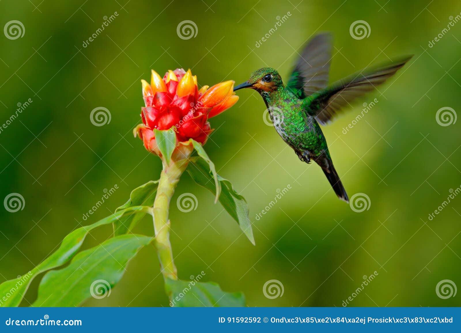 O colibri Verde-coroou brilhante, jacula de Heliodoxa, pássaro verde do voo de Costa Rica ao lado da flor vermelha bonita com b c