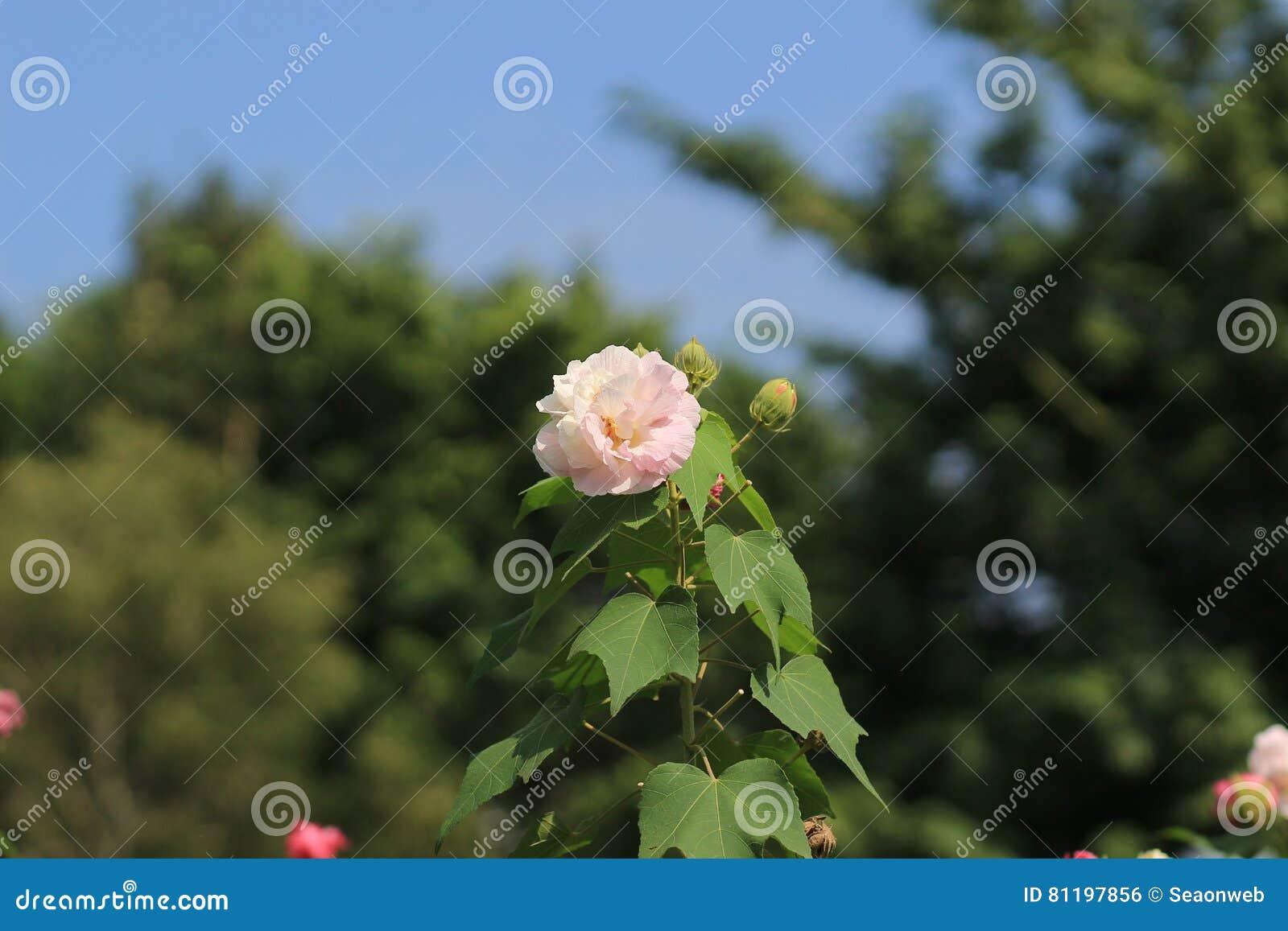 O confederado aumentou; Mutabilis do hibiscus
