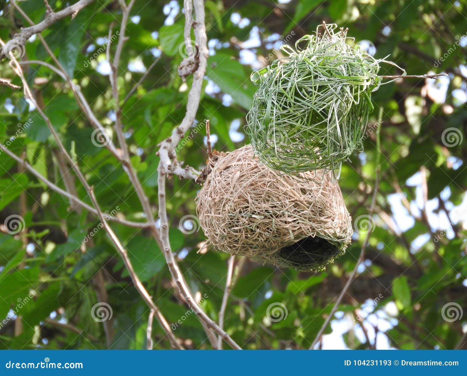 O contraste de um ninho novo do ` s do pássaro do tecelão que está sendo construído
