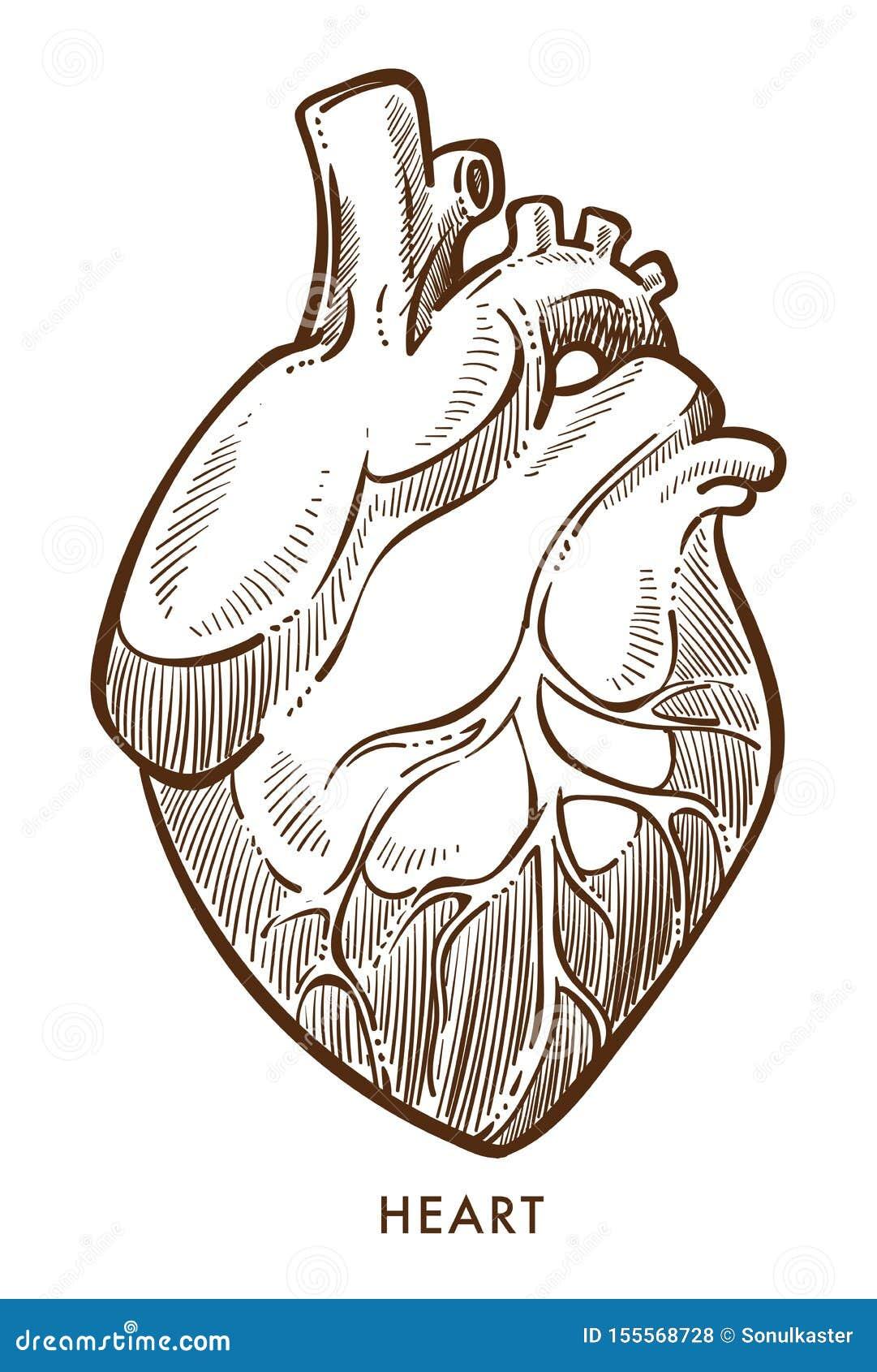 O coração isolou o esboço, sistema cardiovascular, órgão interno