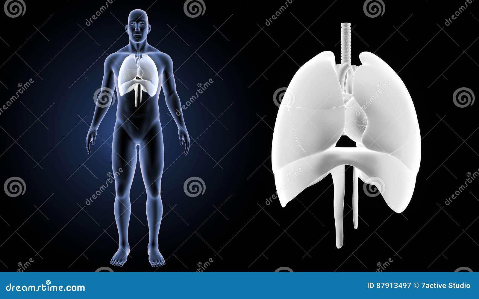 O coração, os pulmões e o diafragma zumbem com opinião anterior do corpo