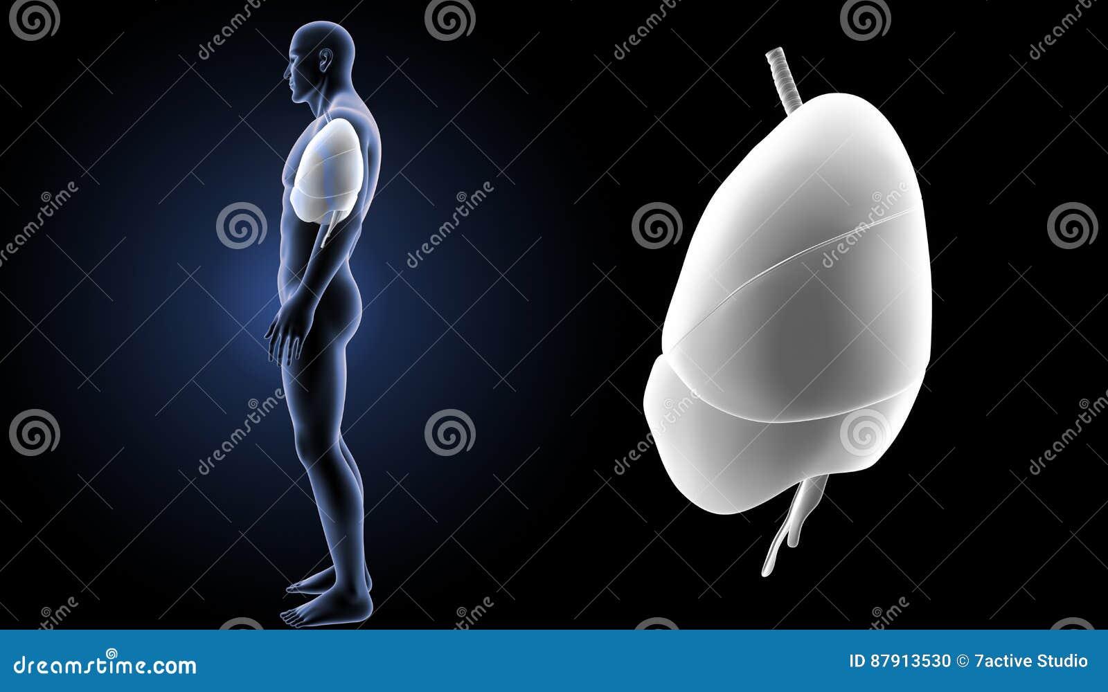 O coração, os pulmões e o diafragma zumbem com opinião da lateral do corpo
