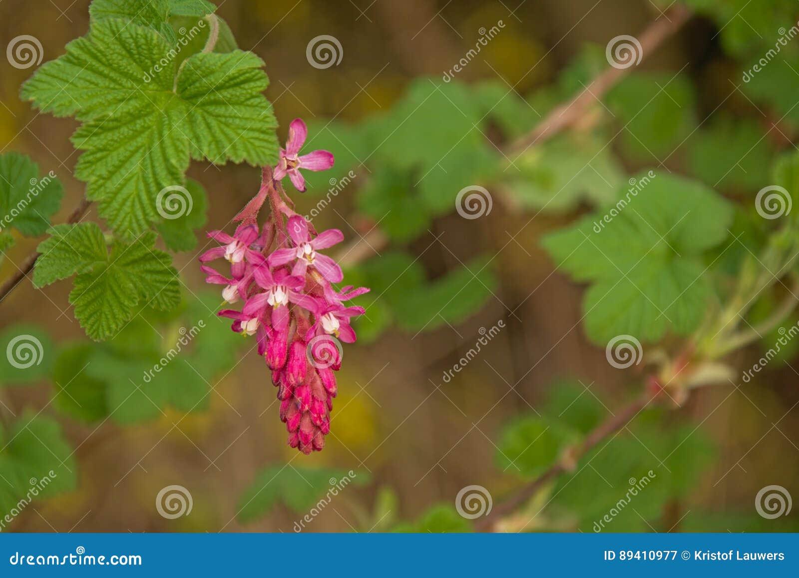 O corinto floresce o sanguineum do Ribes