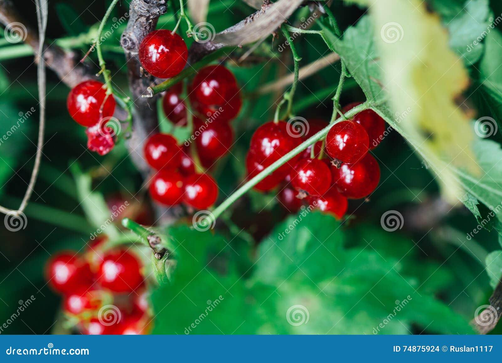 O corinto vermelho cresce nas folhas de um fundo do arbusto