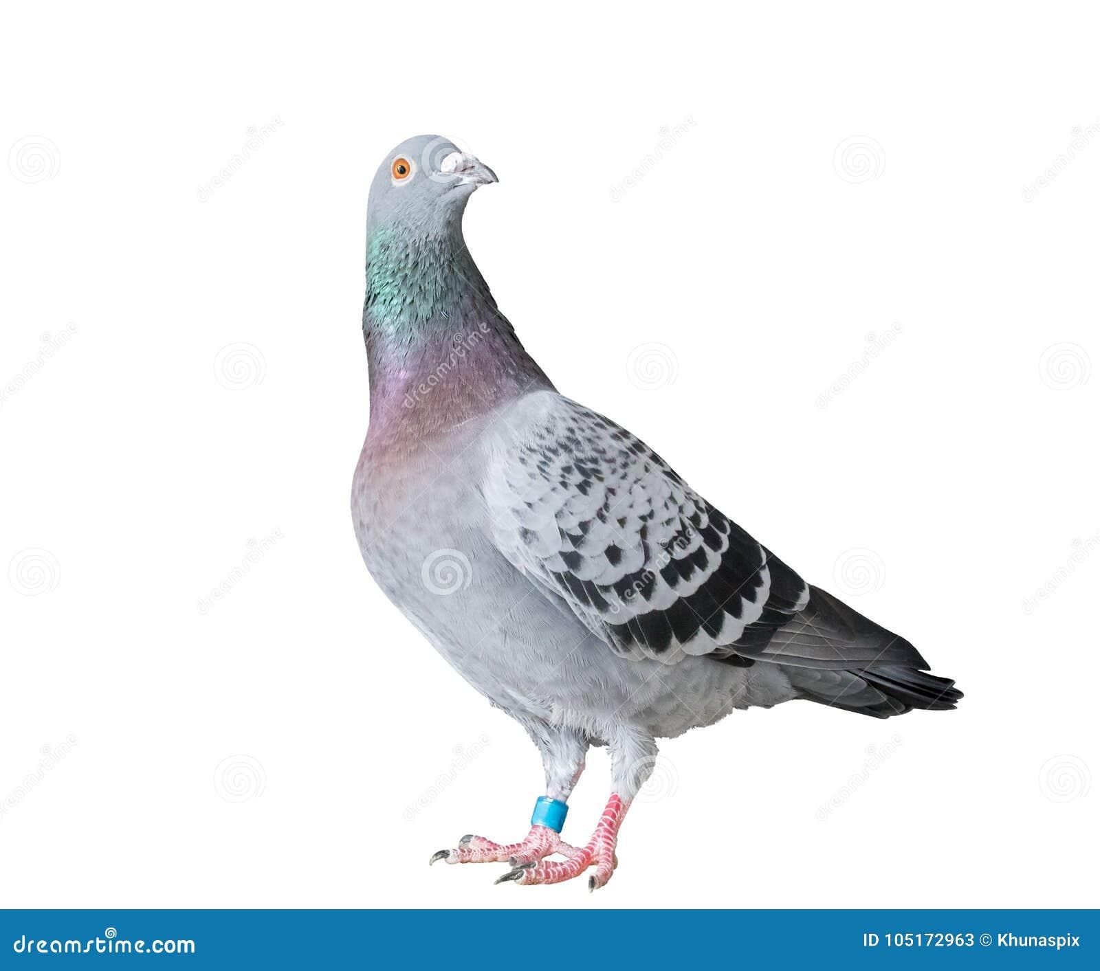 O corpo completo do pássaro do pombo de competência da velocidade isolou o fundo branco