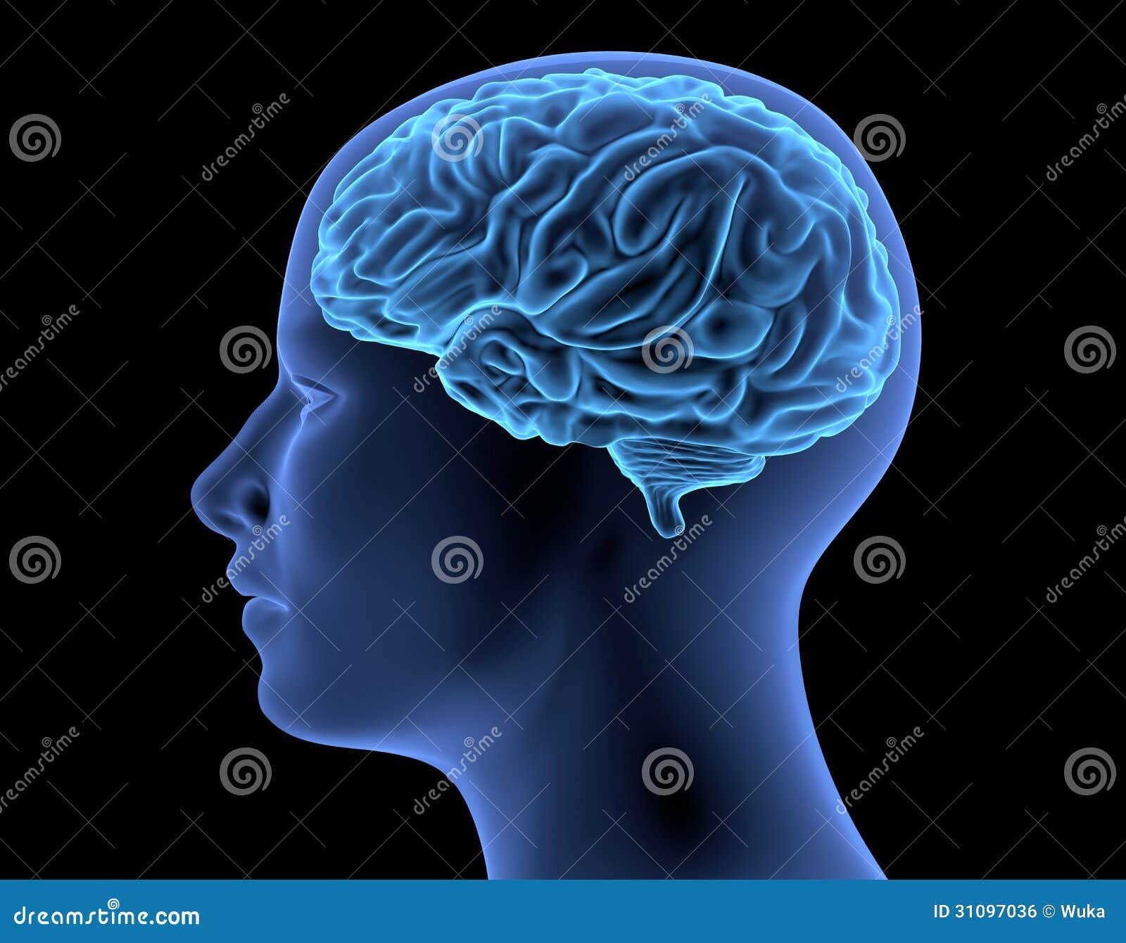 O corpo humano - cérebro