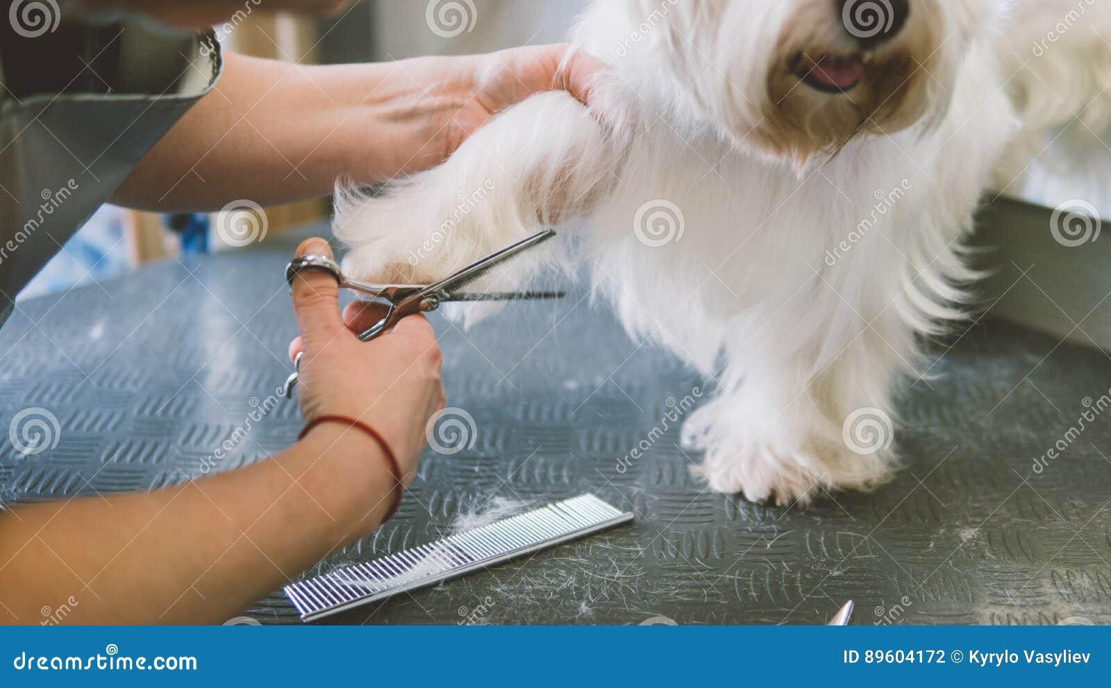 O corte de cabelo scissors os cães brancos Cão que prepara no salão de beleza da preparação Foco raso