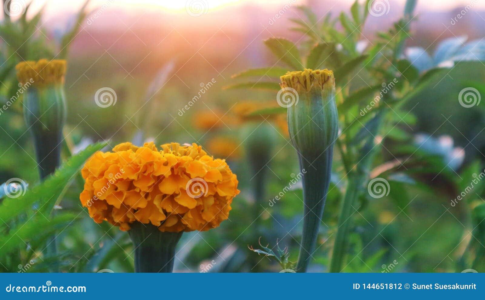 O cravo-de-defunto amarelo floresce a plantação muito grande