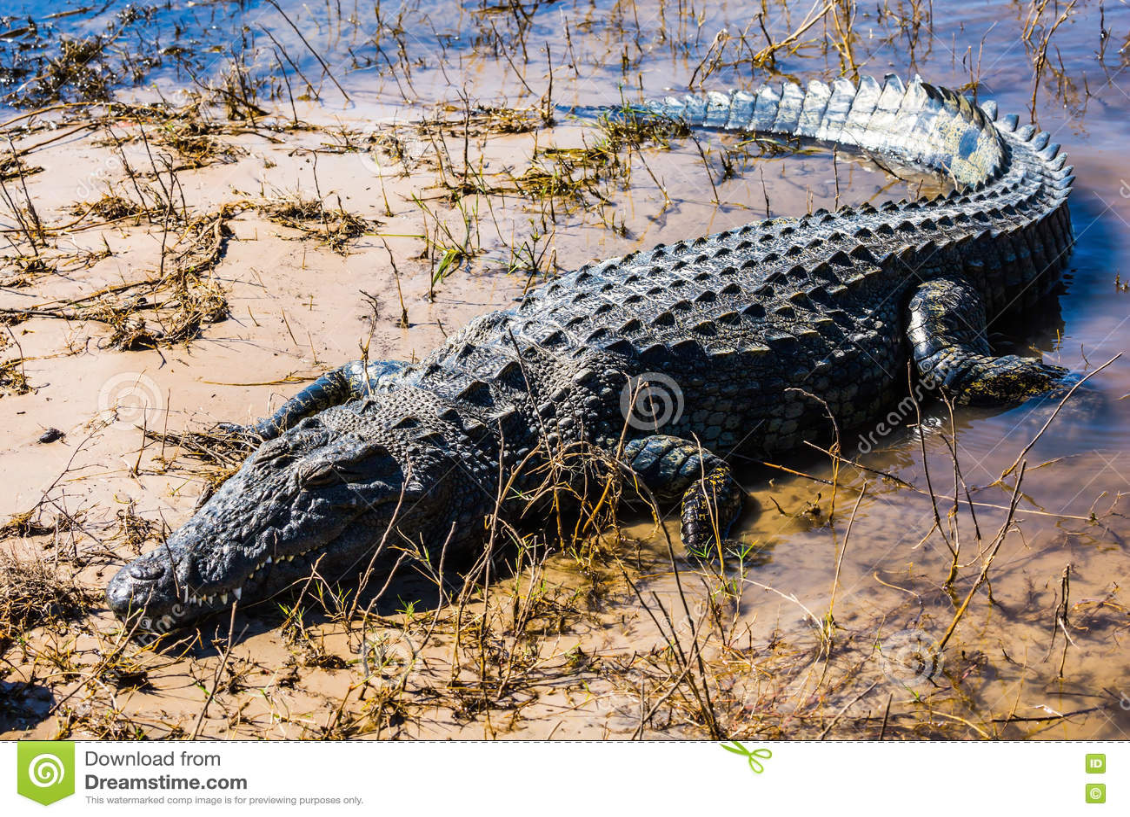 O crocodilo grande rasteja rapidamente fora da água