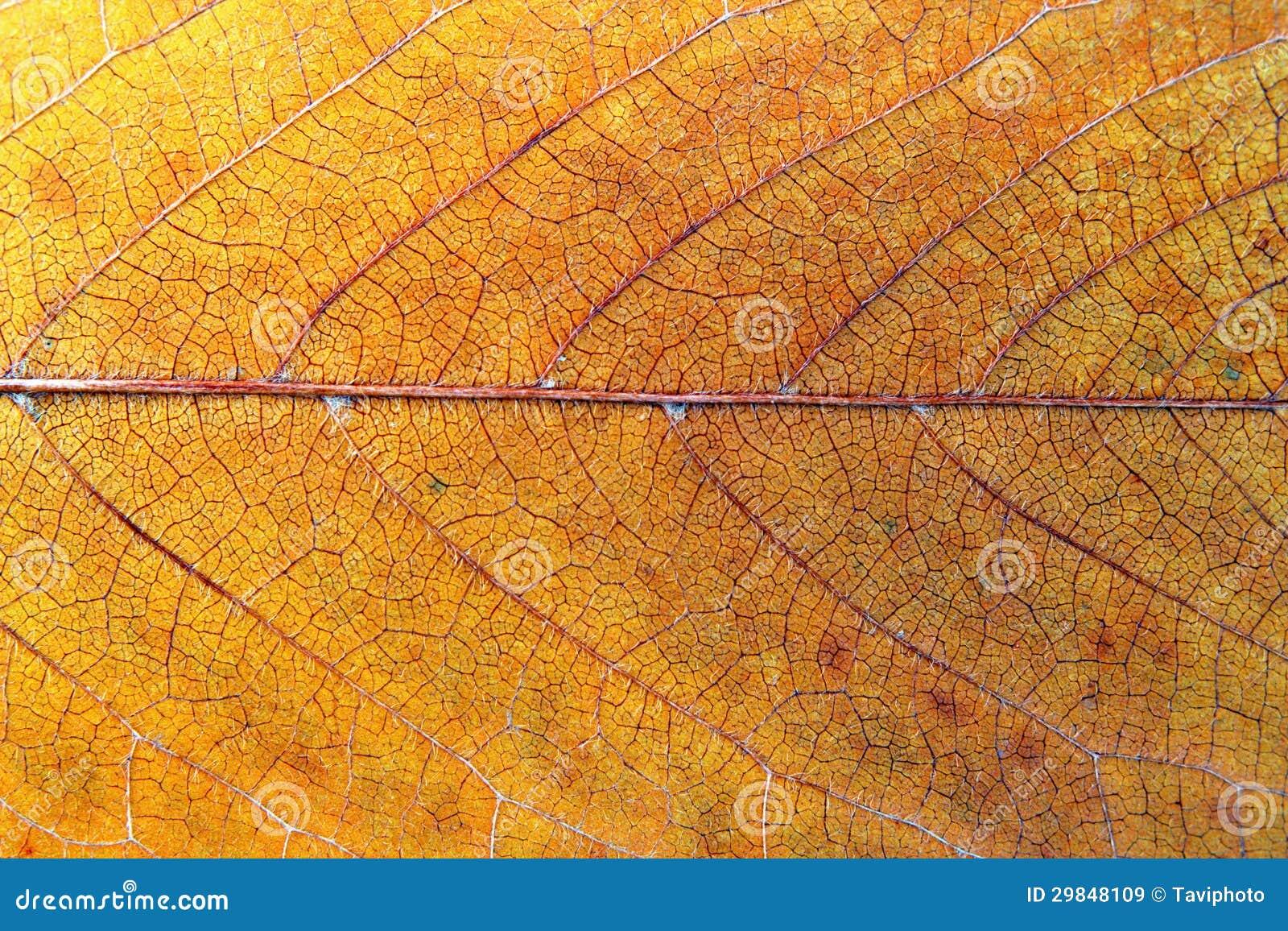 Textura da folha da cereja