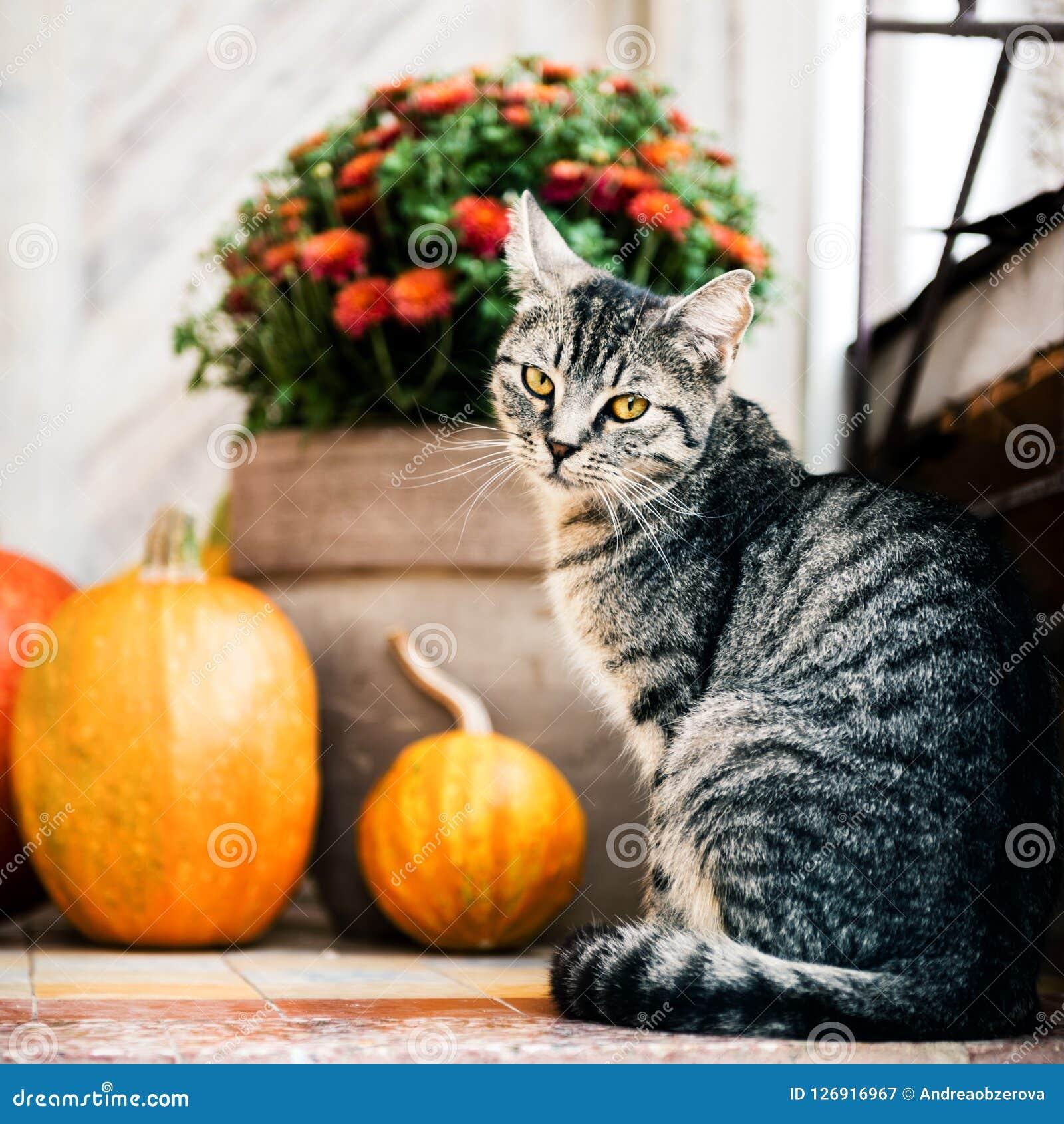 O Dia das Bruxas decorou a porta da rua com as várias abóboras do tamanho e da forma O gato em Front Porch decorou para a ação de