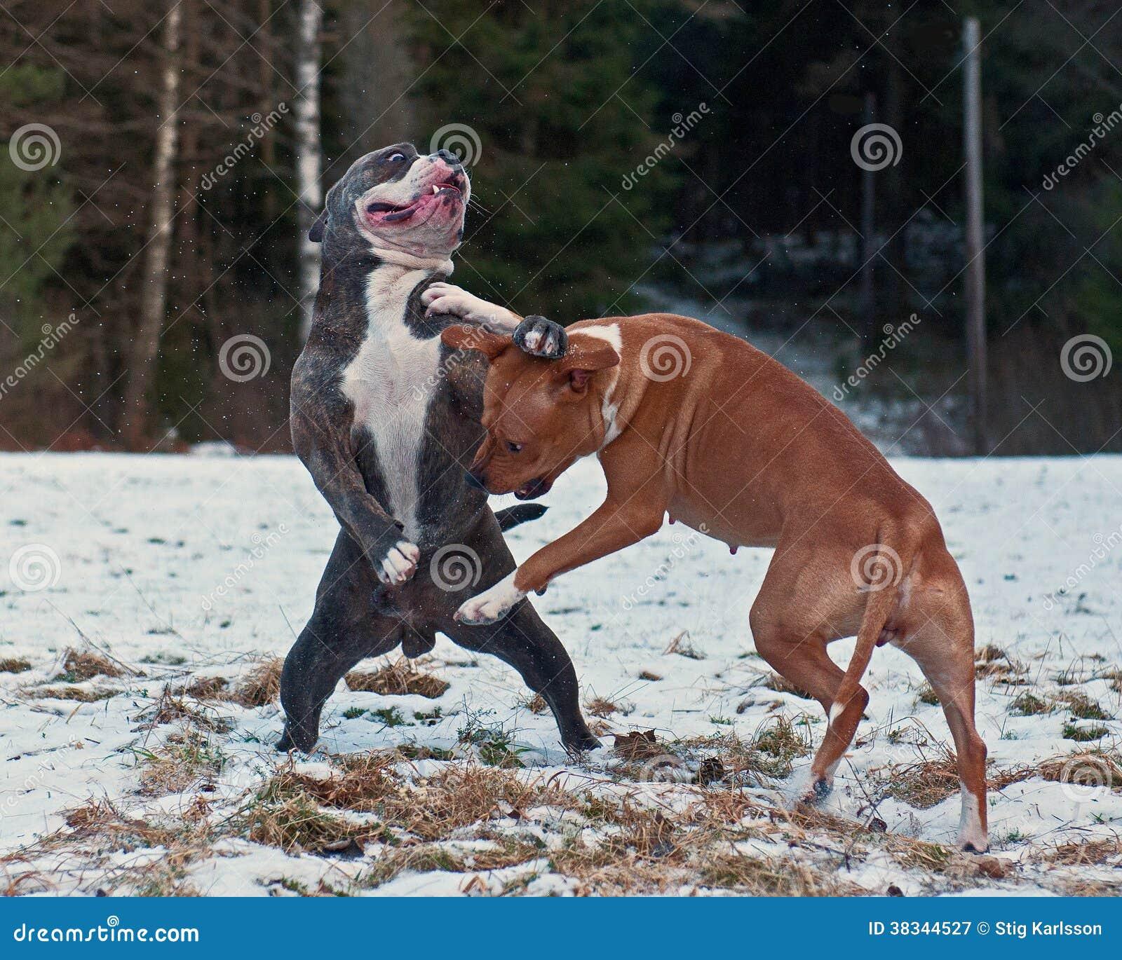 American Pit Bull Terrier Essay