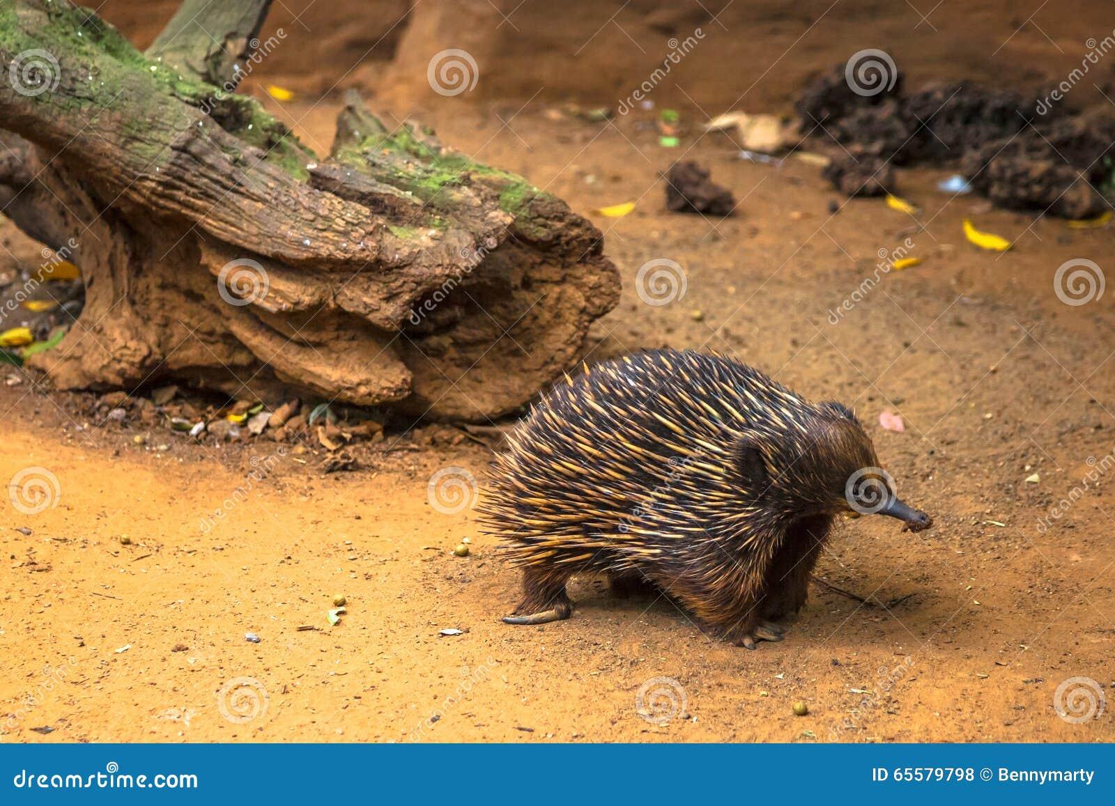 O Echidna australiano