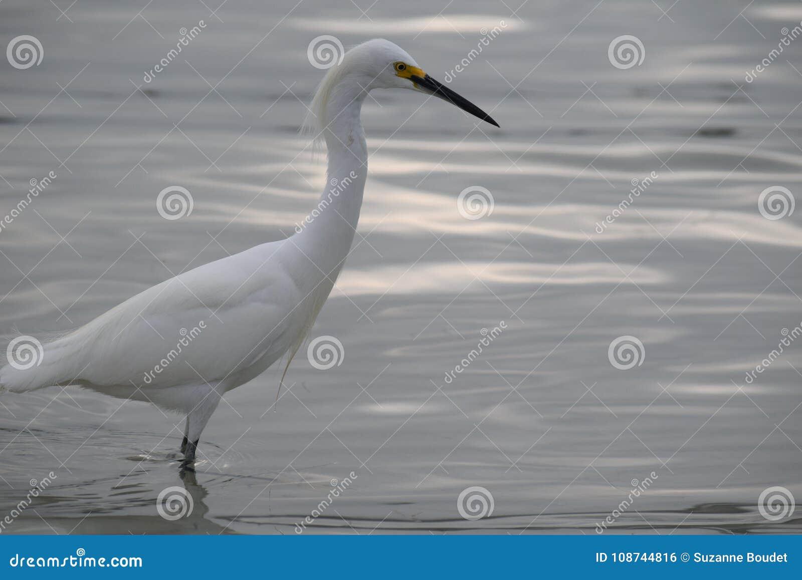 O Egret da caça