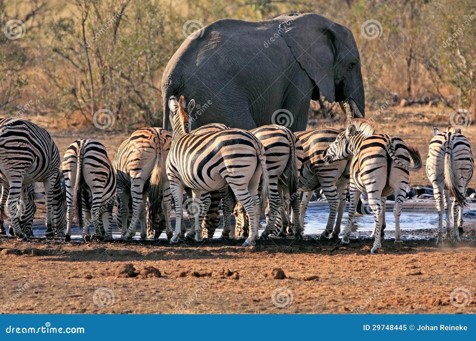 Elefante e zebra no waterhole