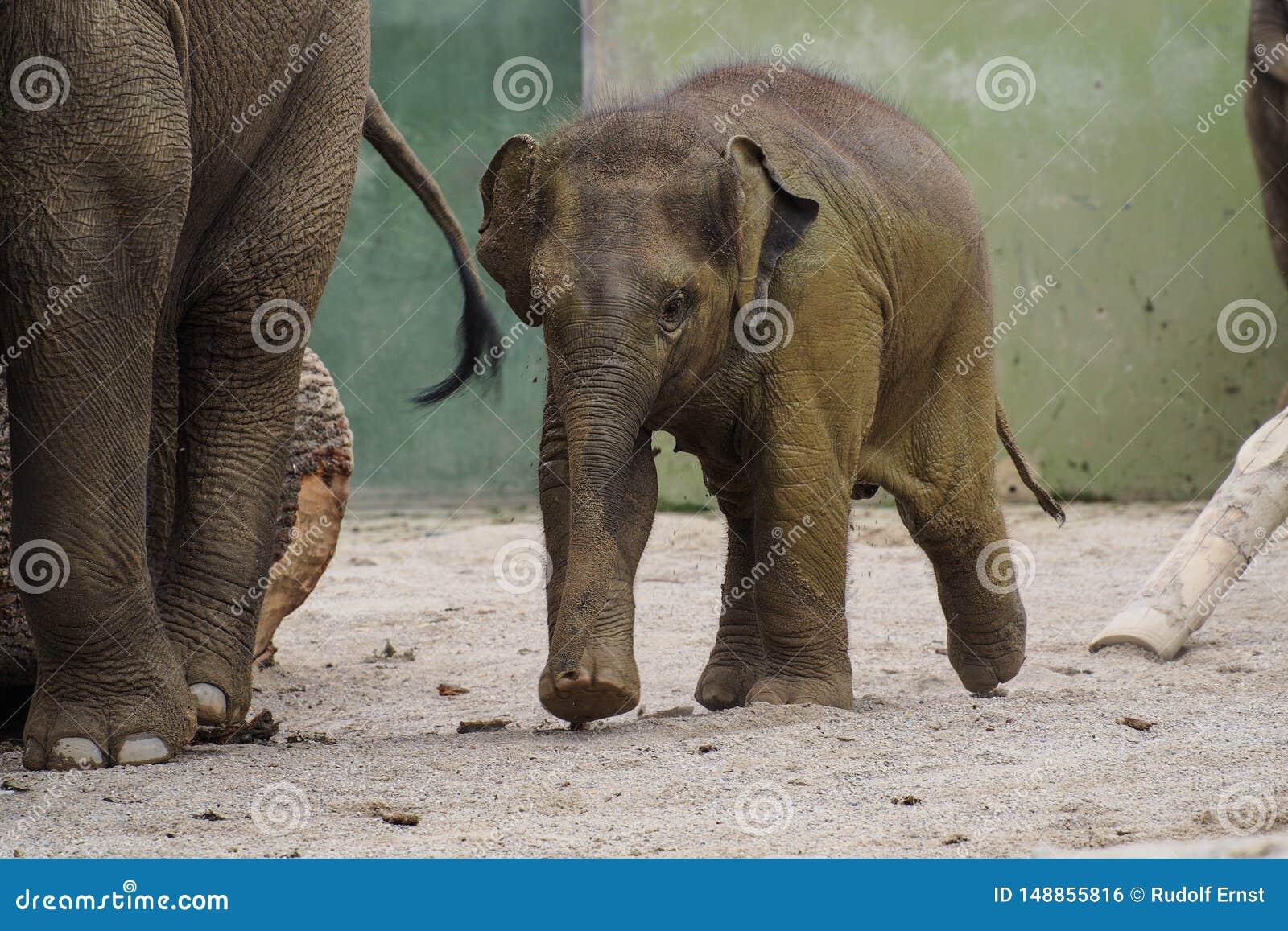 O elefante asi?tico, maximus do Elephas igualmente chamou o elefante de Asi?tico