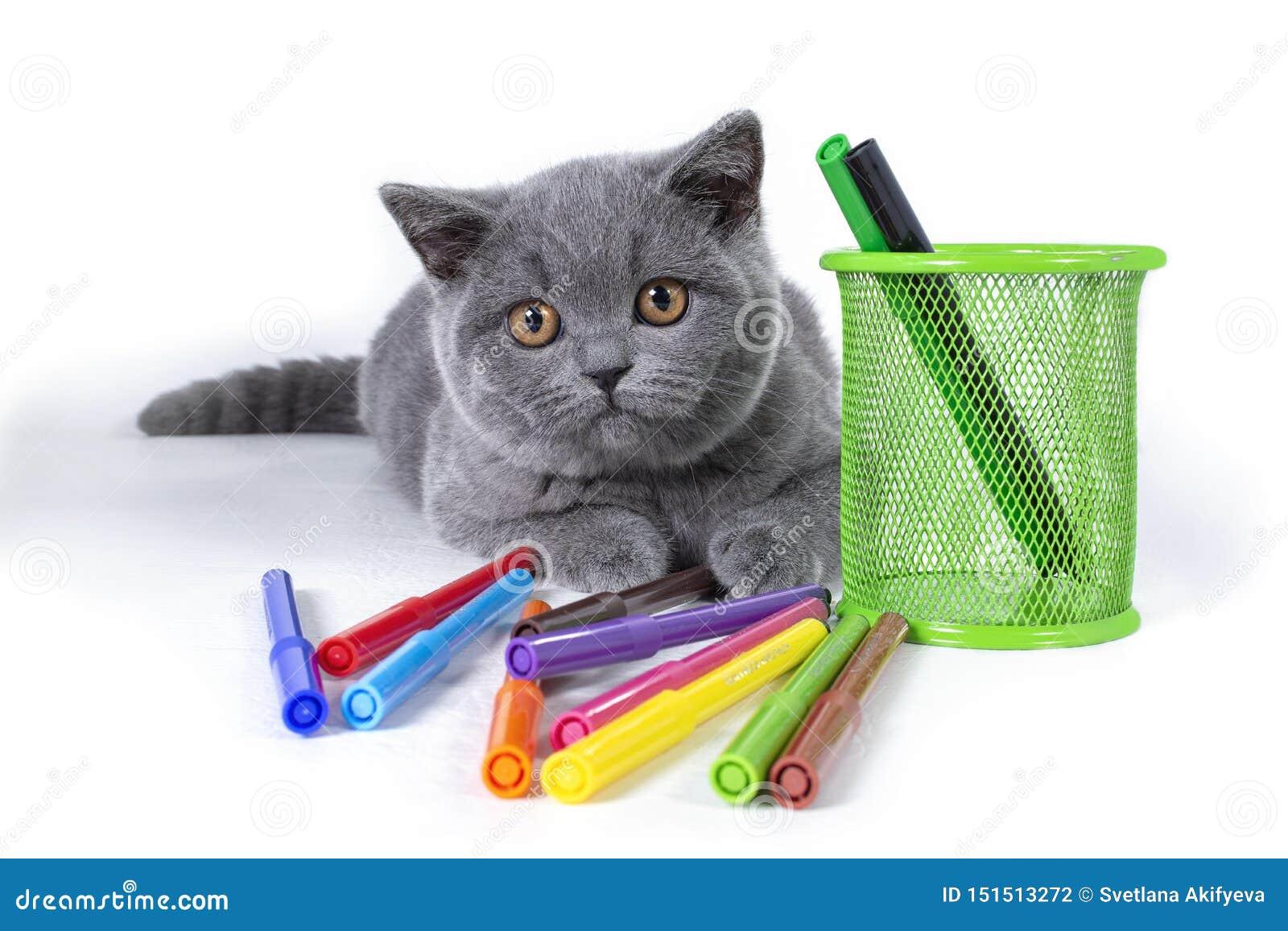 O encantamento, gatinho britânico do puro-sangue cinzento, macio, um vidro com canetas com ponta de feltro, em um fundo branco Bo