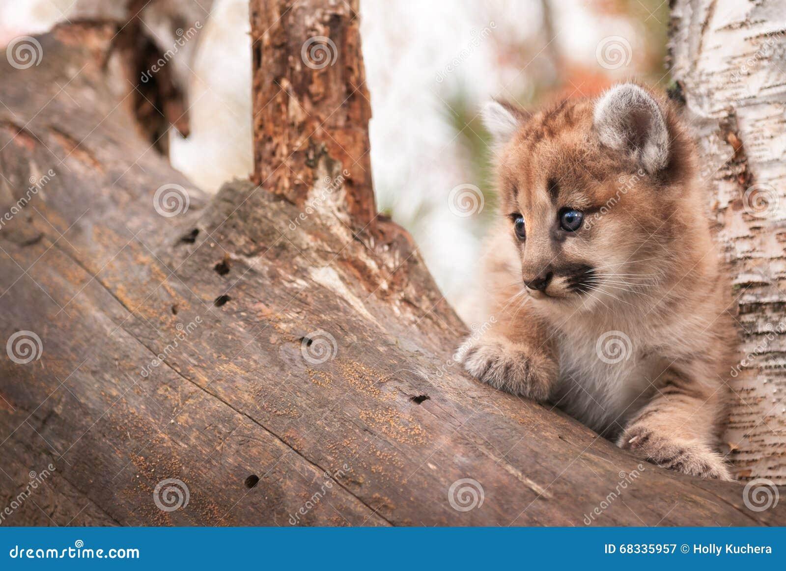 O espaço fêmea da cópia do gatinho do puma (concolor do puma) saiu