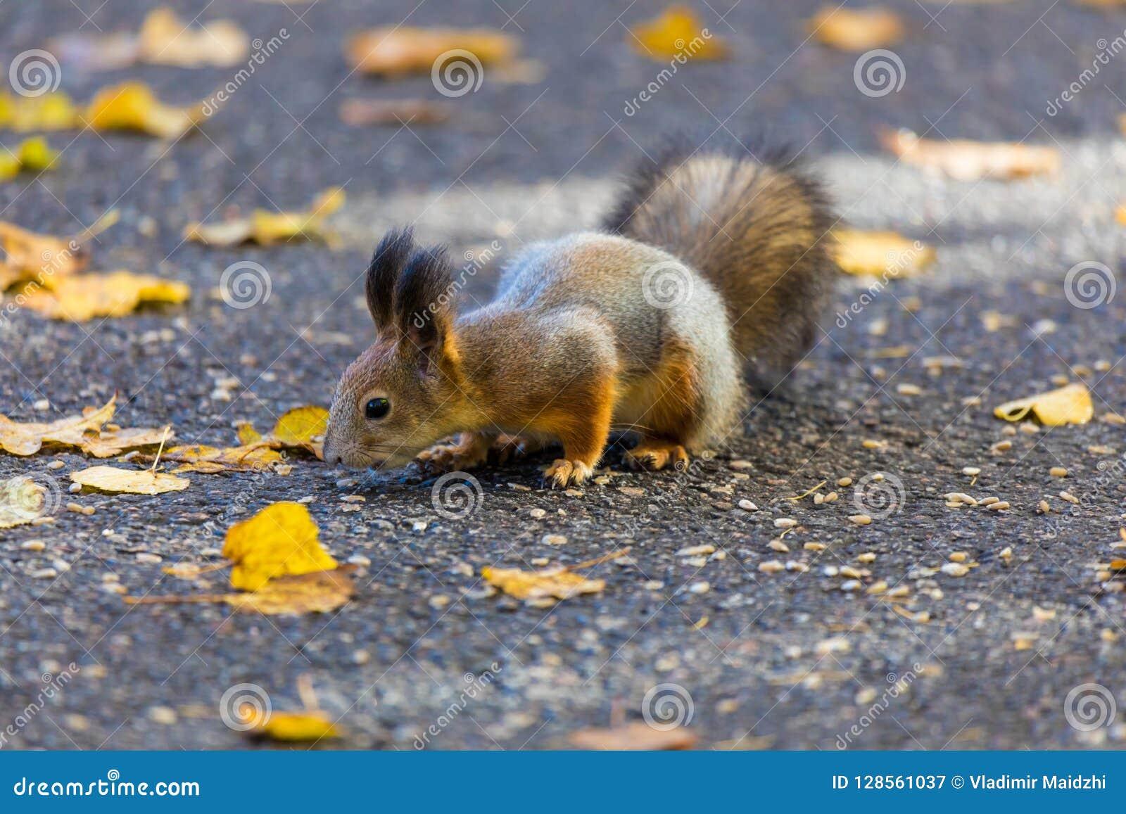 O esquilo que joga no parque que procura o alimento durante o dia ensolarado do outono