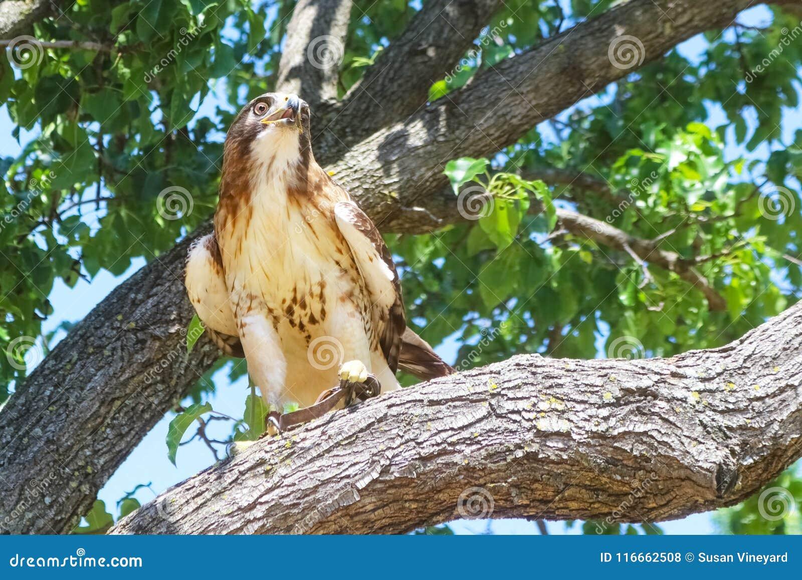 O falcão treinado com os jesses de couro que ligam os pés empoleirou-se em uma árvore