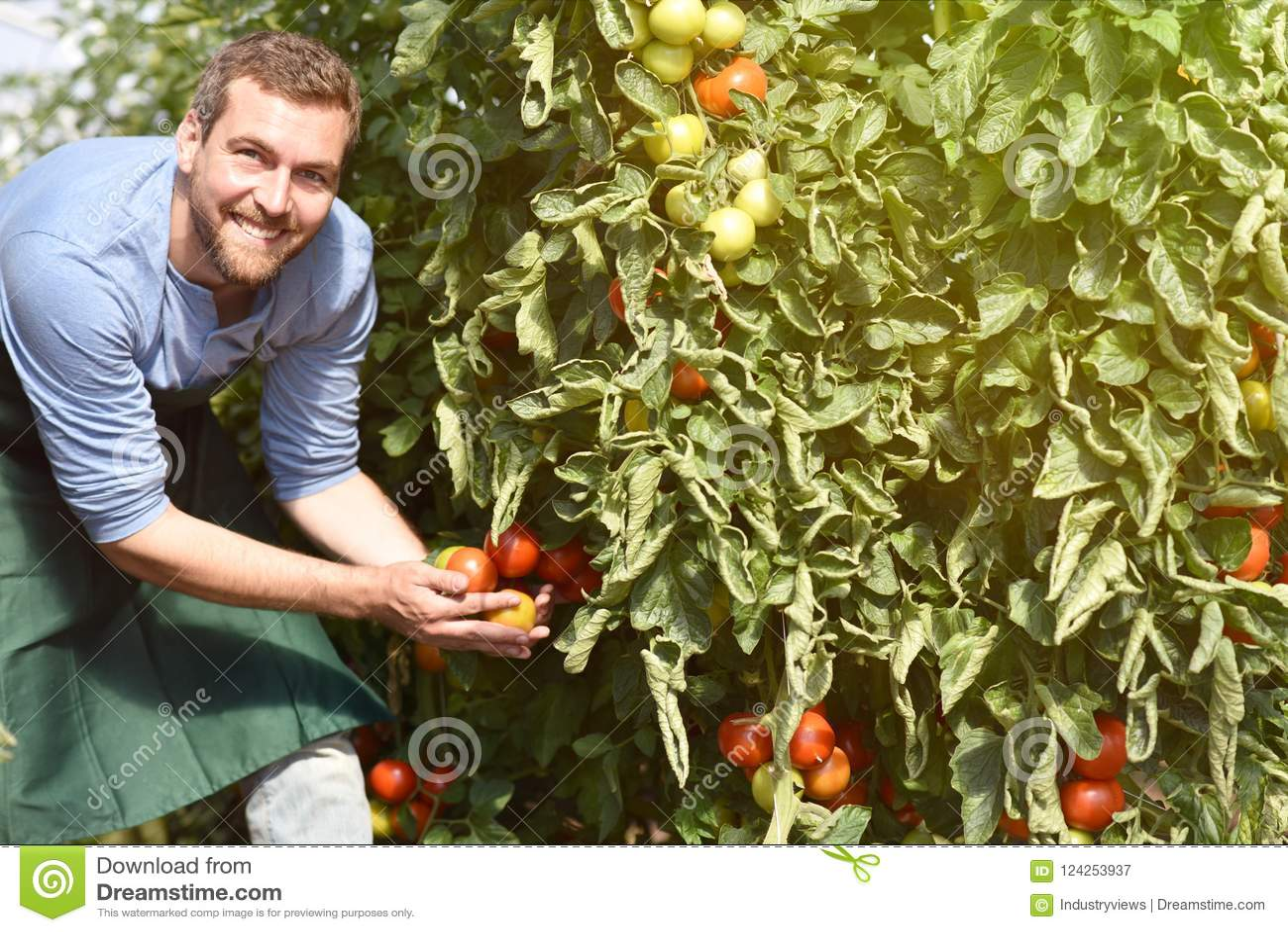 O fazendeiro do jardineiro trabalha nas estufas que crescem tomates