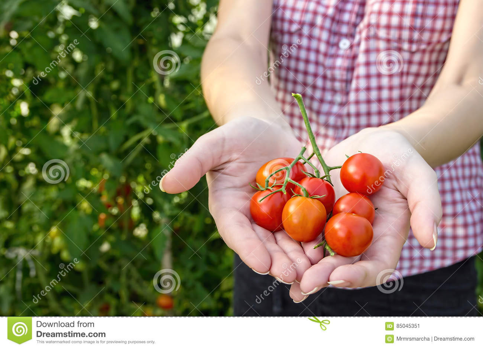 O fazendeiro recolhe tomates de cereja na estufa