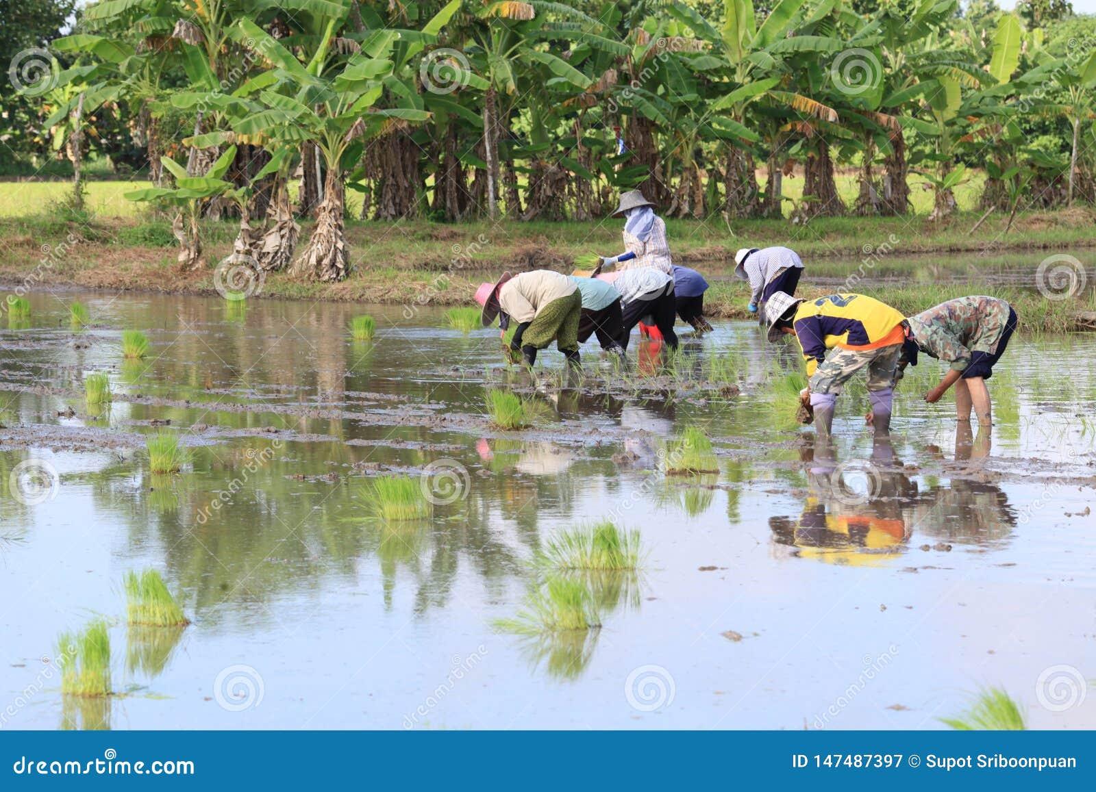 O fazendeiro tailandês cresce o arroz