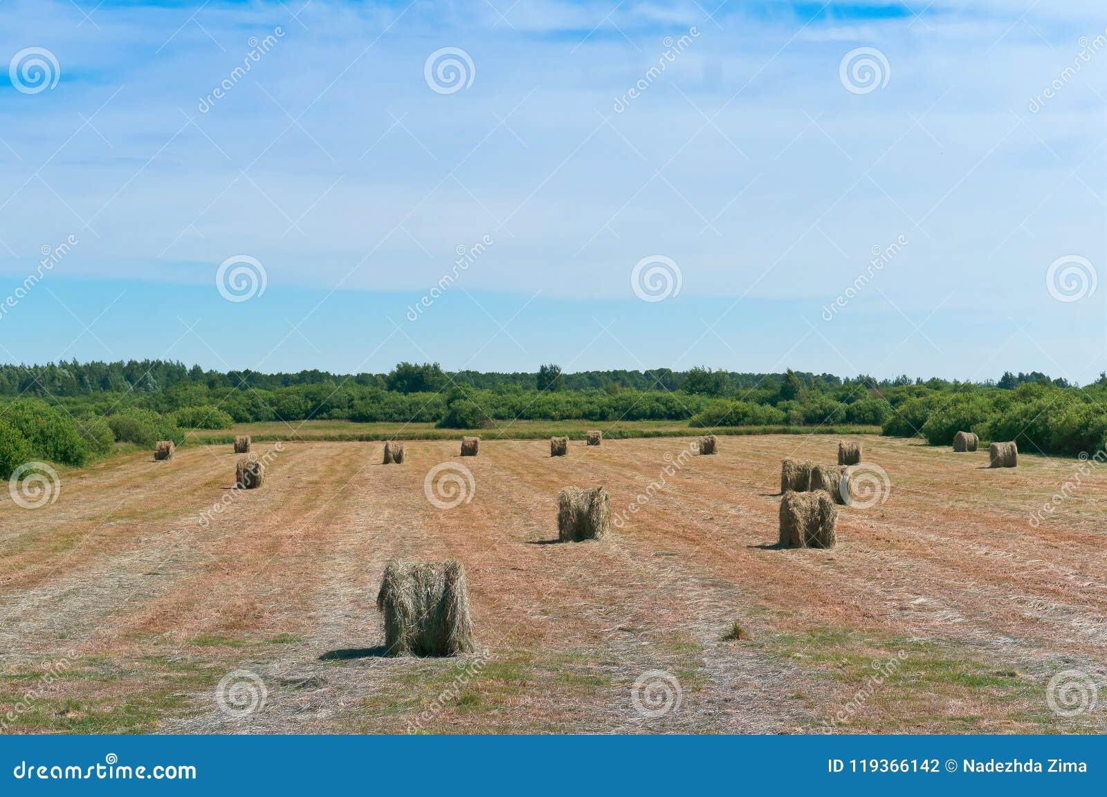O feno torcido no campo, pacotes de feno rola na terra