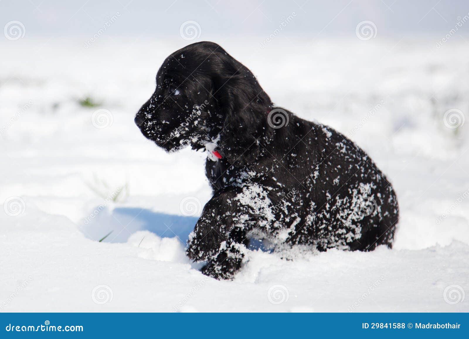 O filhote de cachorro de cocker spaniel anda na neve