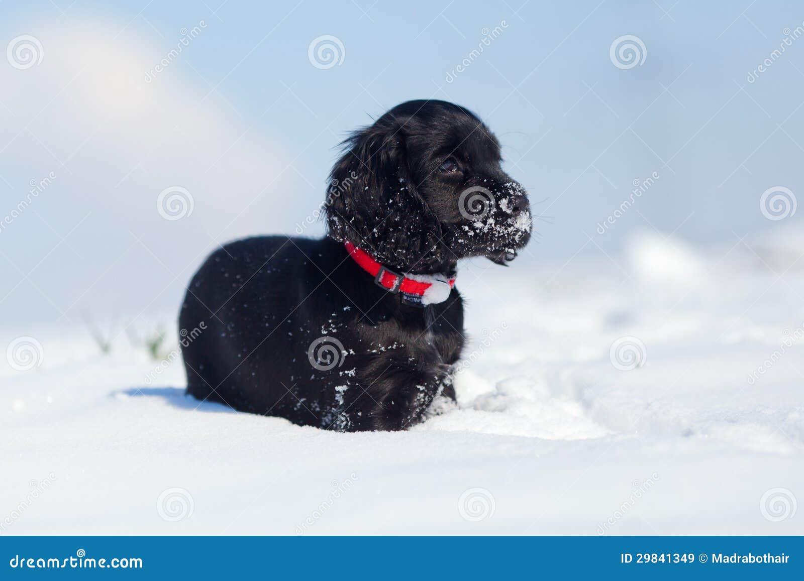 Filhote de cachorro bonito de cocker spaniel na neve