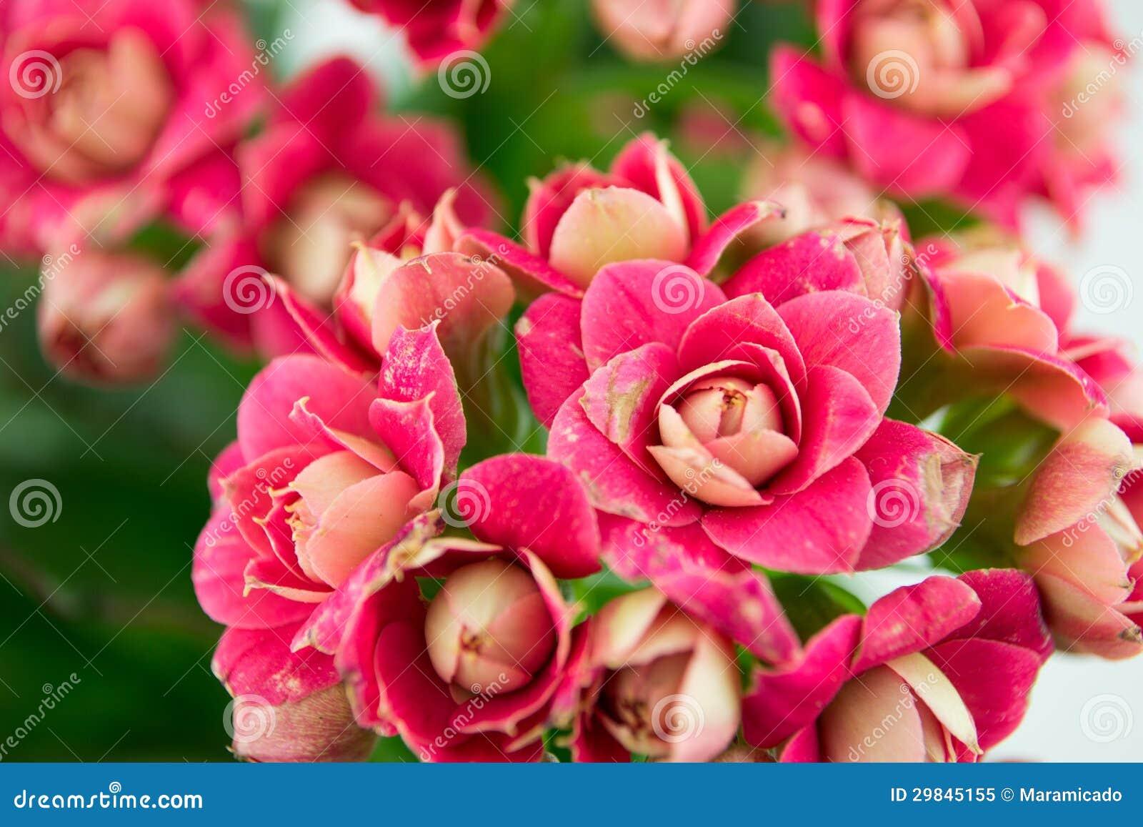 O fim acima de Kalanchoe arbusto, flores
