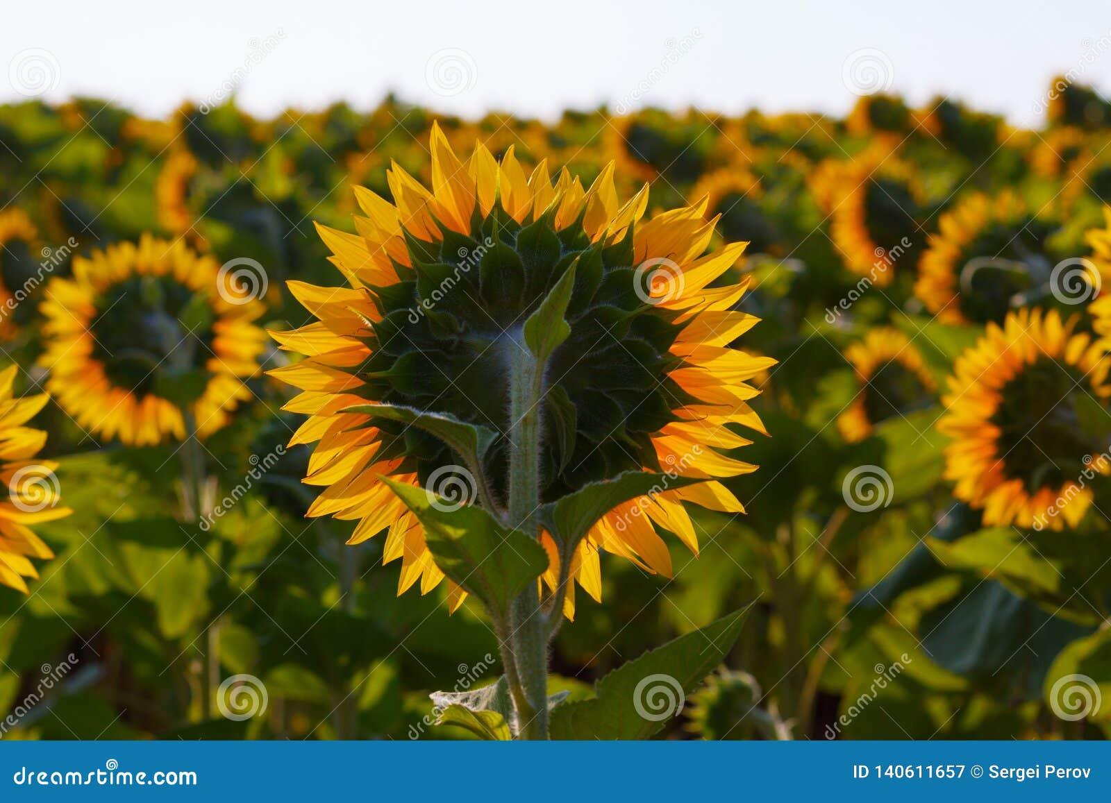 O fim de florescência do girassol acima contra o sol