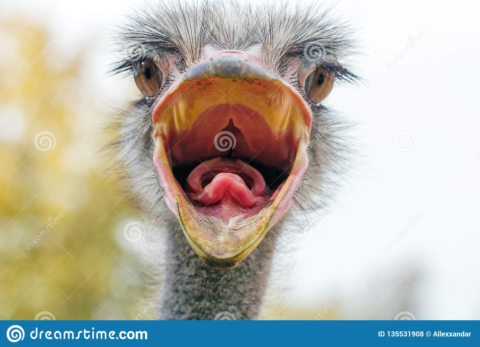 O fim irritado da avestruz acima do retrato, fecha-se acima do camelus do Struthio da cabeça da avestruz
