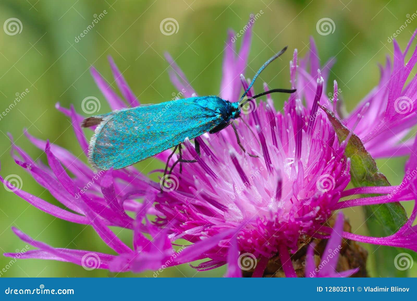 O Forester, statices de Adscita da borboleta
