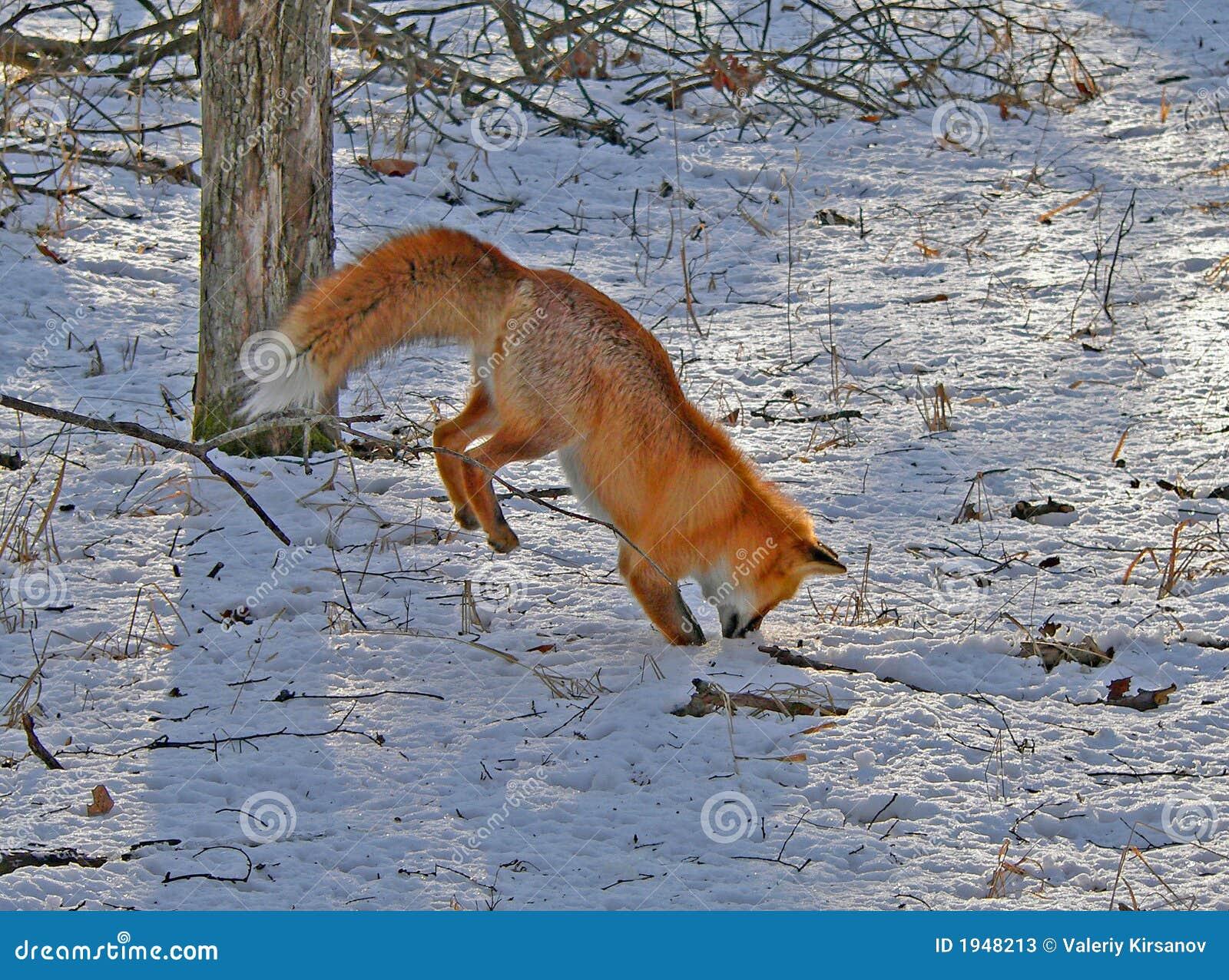 O Fox vermelho é a caça 2