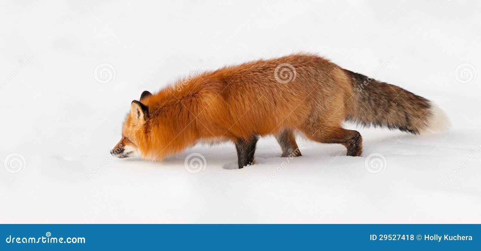 O Fox vermelho (vulpes do Vulpes) Prowls através da neve