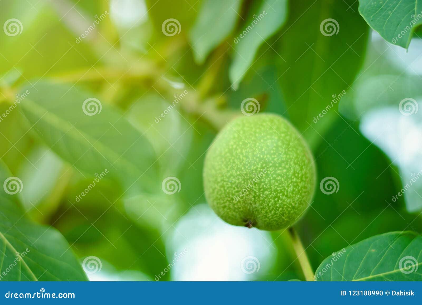 O fruto da noz e do verde sae no ramo de árvore