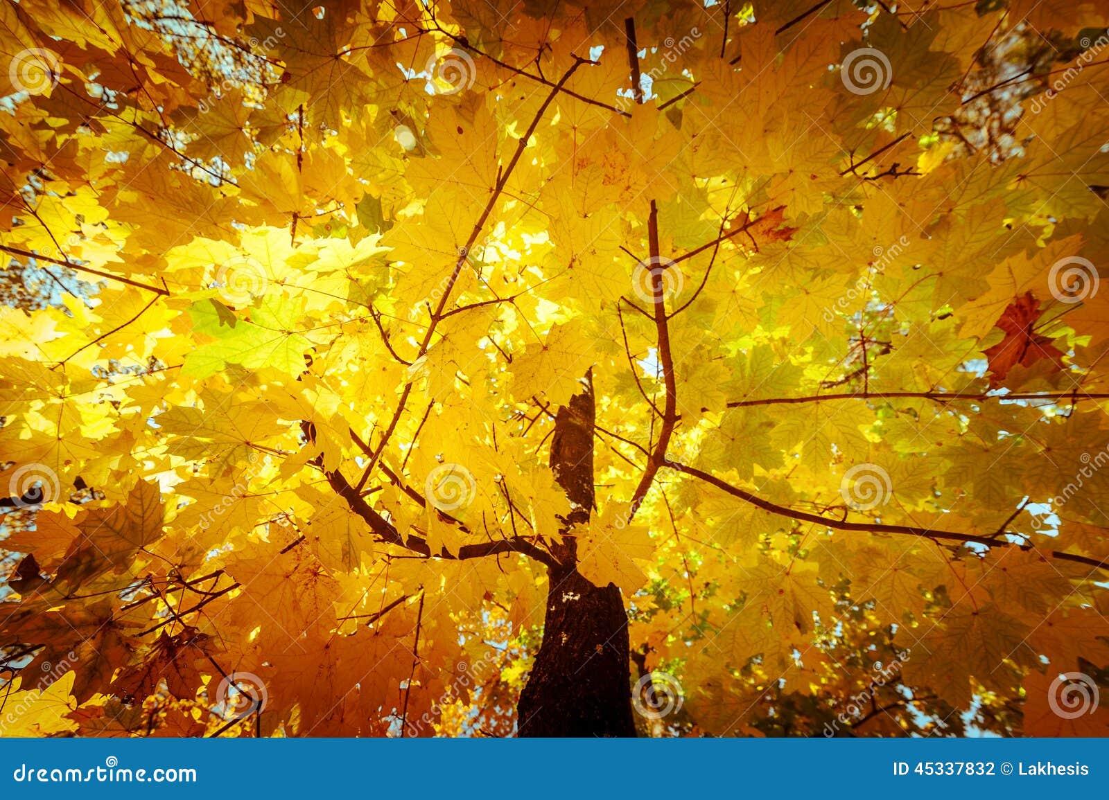 O fundo abstrato da natureza do outono com árvore de bordo sae