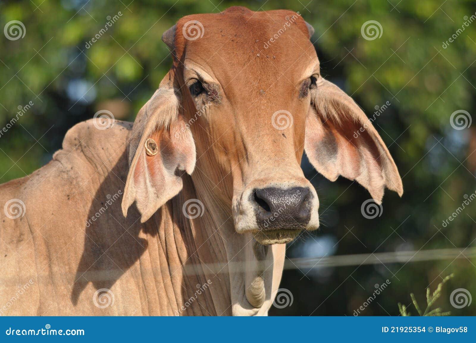 O gado do Brahman fecha-se acima