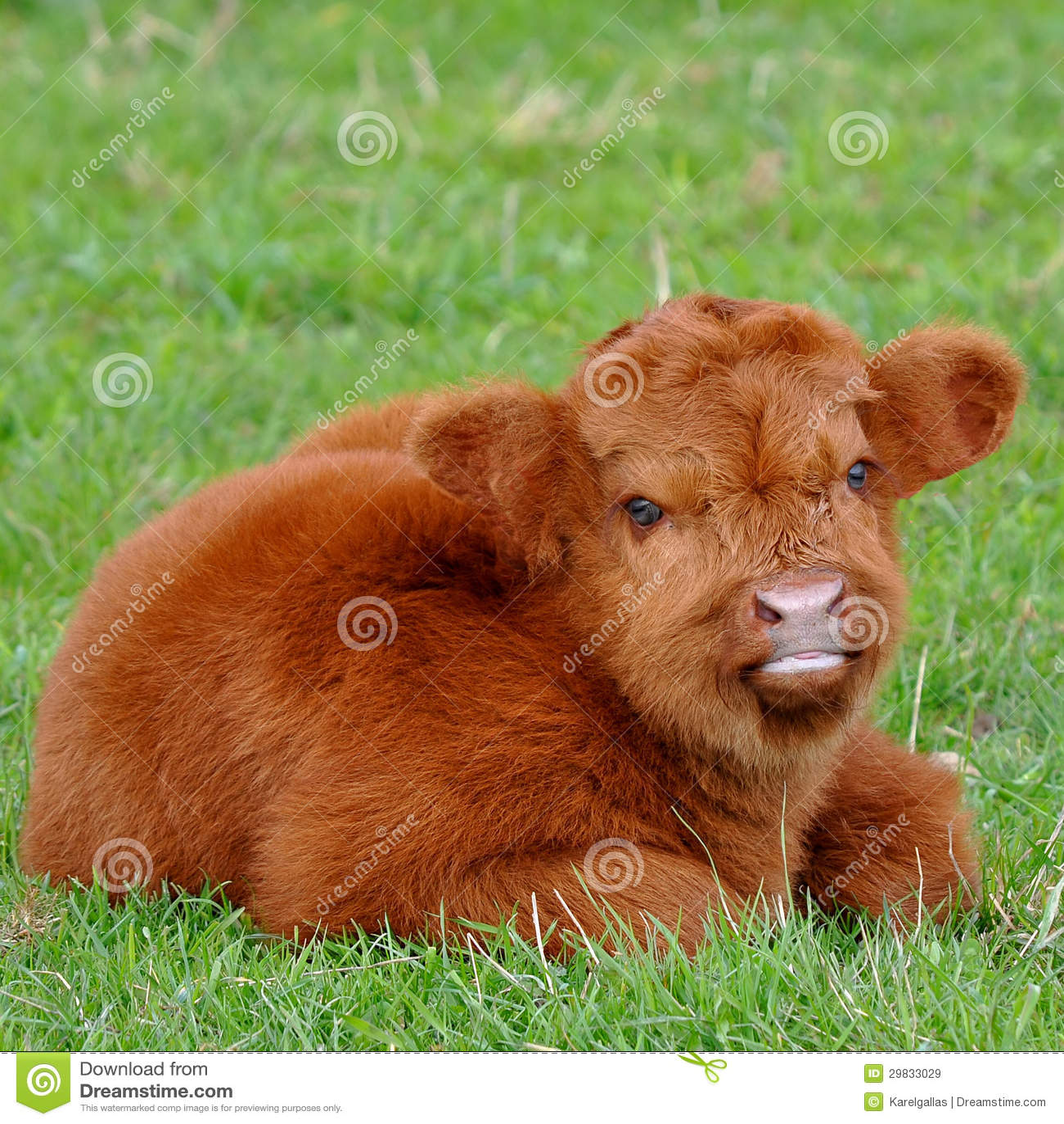 Vitela bonito do gado das montanhas