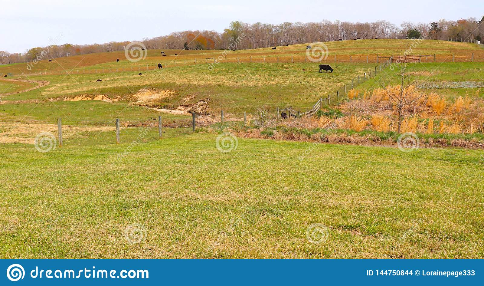 O gado pasta na grama verde da mola recentemente em Rolling Hills