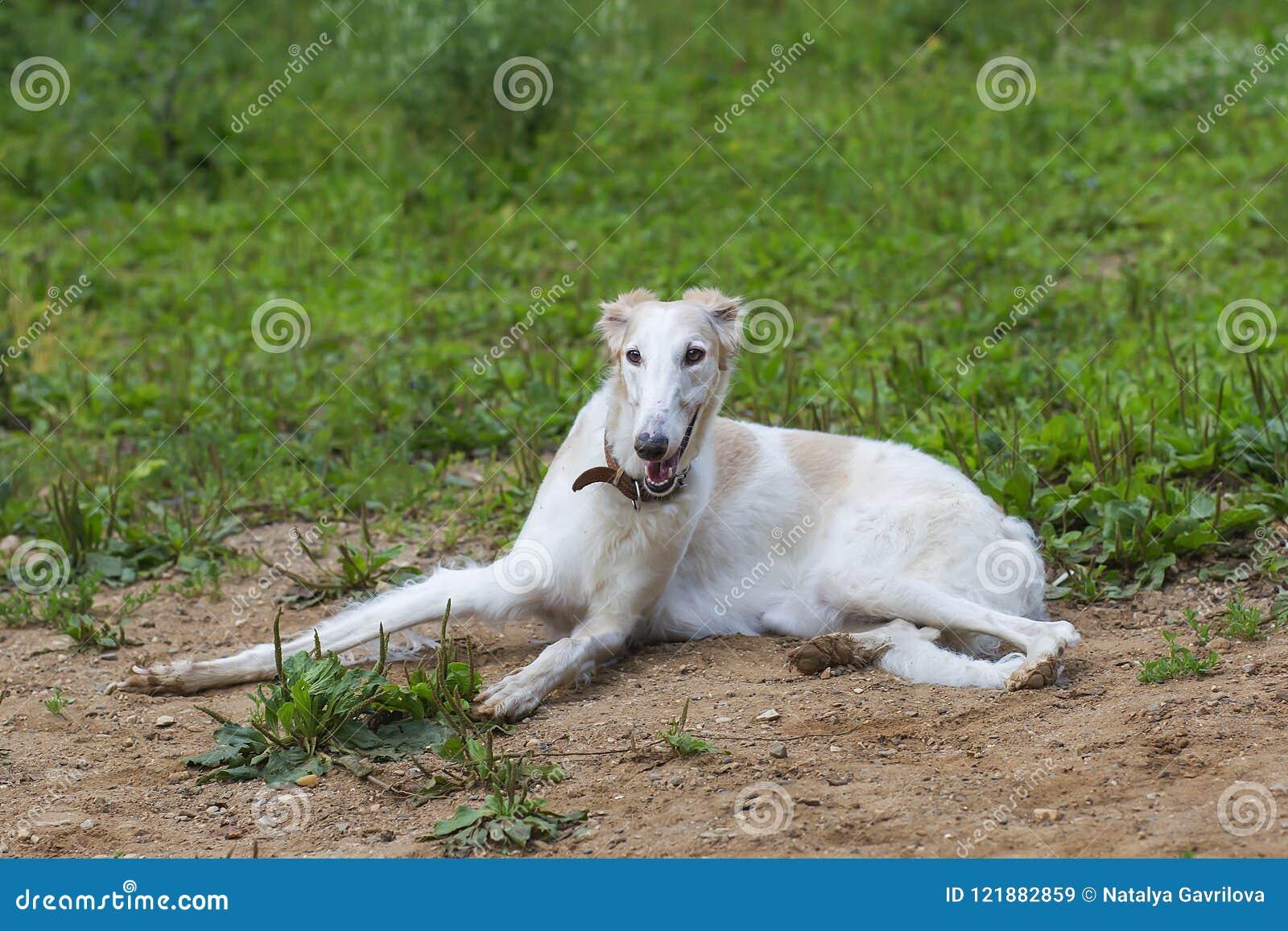 O galgo da raça do cão está encontrando-se na areia