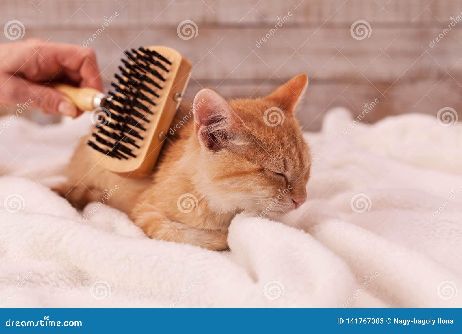 O gatinho aprecia escovar o encontro em uma cobertura macia