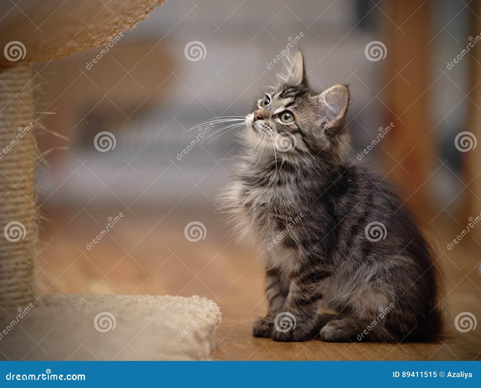 O gatinho listrado macio cinzento senta-se
