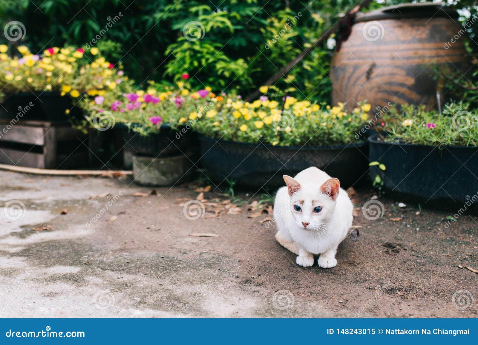 O gato branco do shorthair está colocando no assoalho no jardim