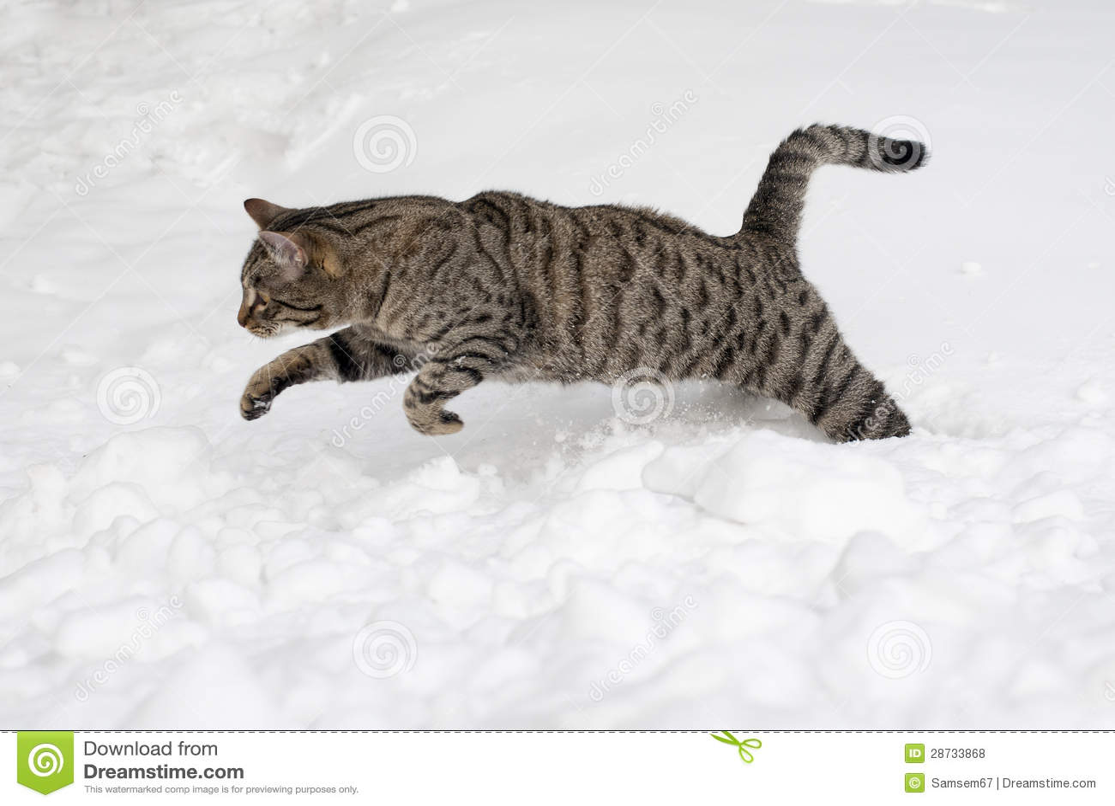 O gato cinzento está saltando na neve