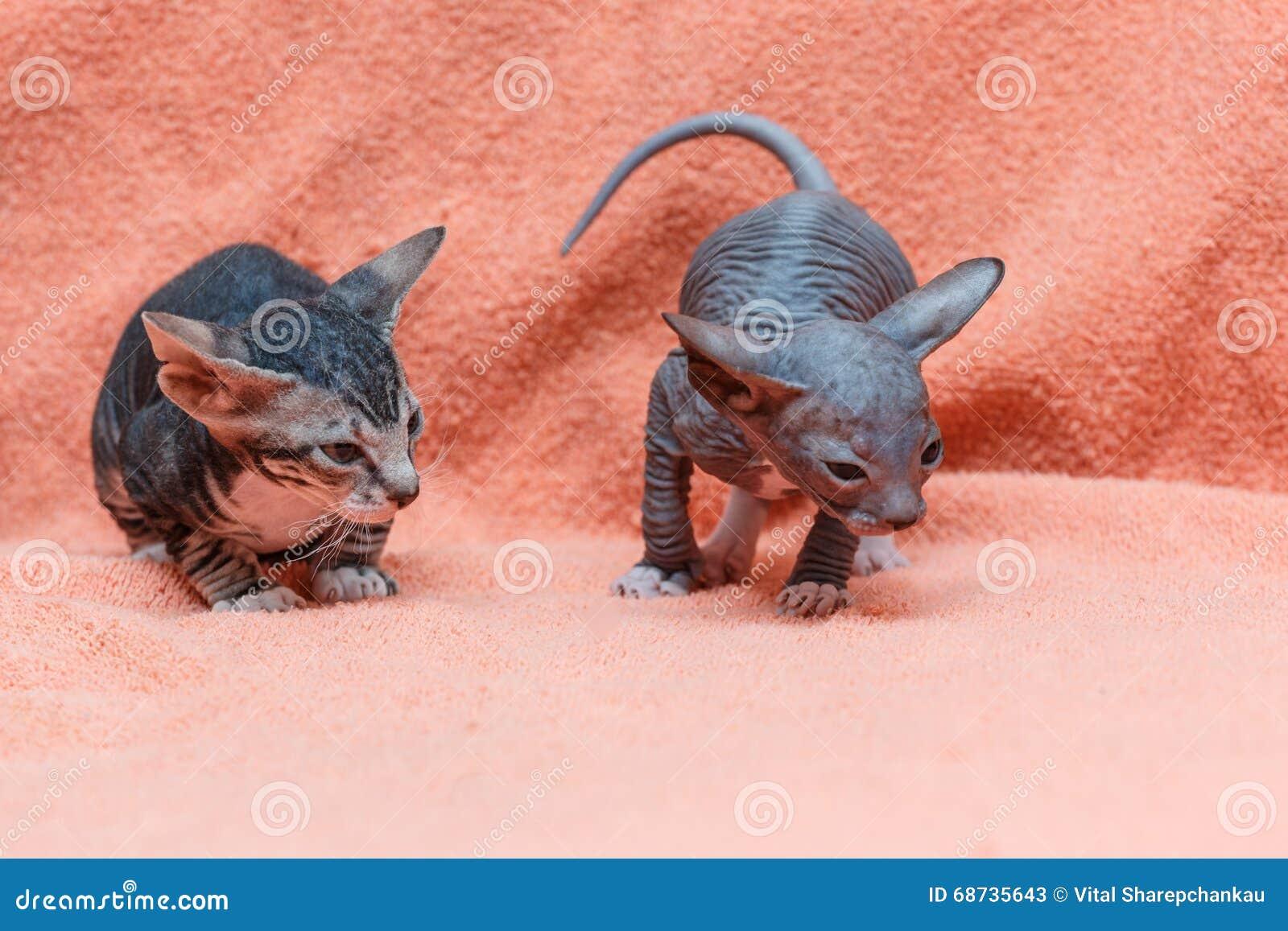 O gato de Donskoy Sphynx
