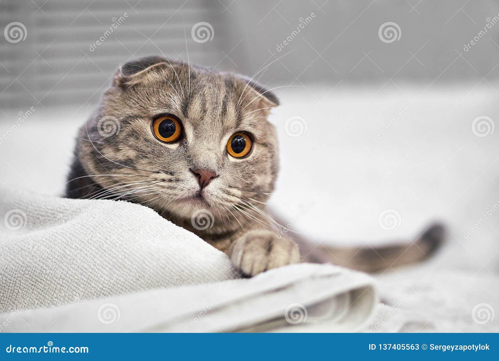 O gato de gato malhado escocês cinzento adorável da dobra é ocupa na cama branca na sala