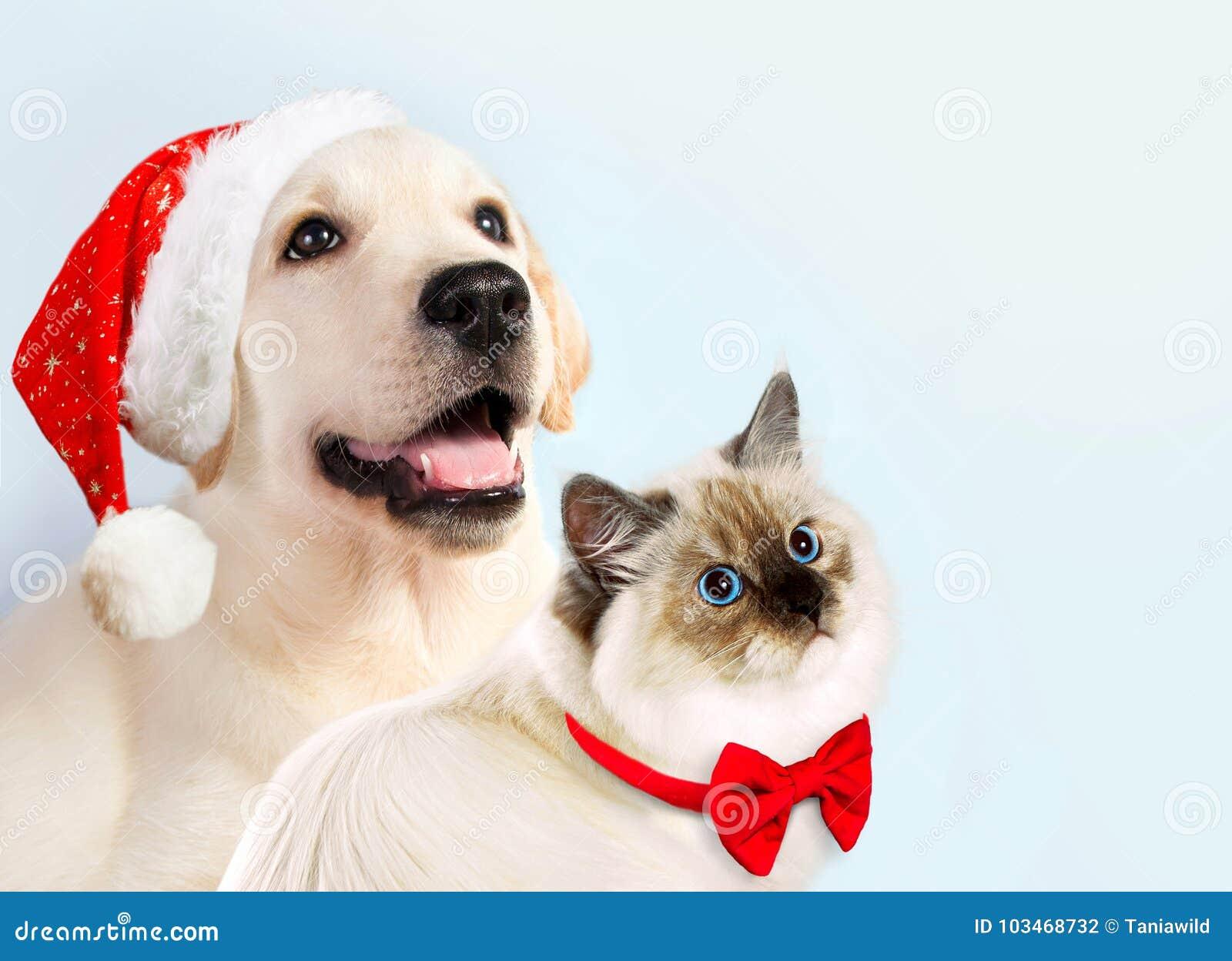 O gato e o cão junto, gatinho do disfarce do neva, golden retriever olham o direito Cachorrinho com chapéu e curva do Natal Modo
