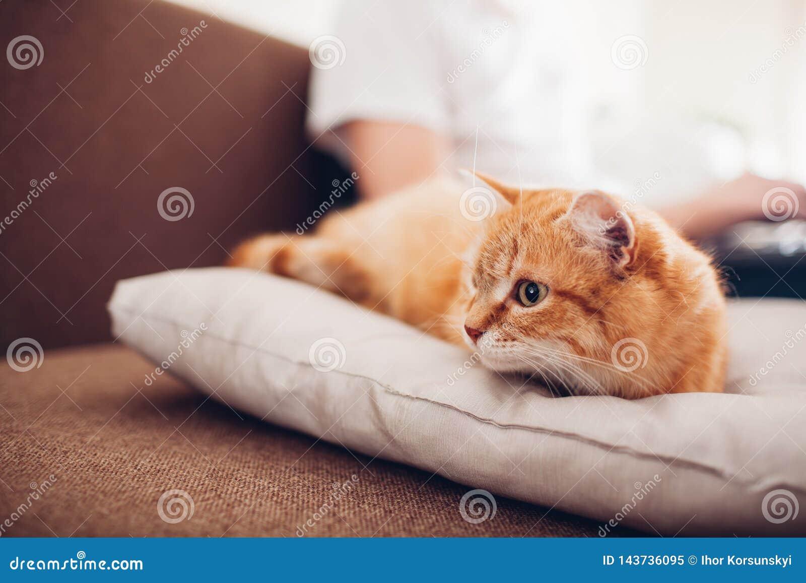 O gato encontra-se em um descanso em casa perto de seu mestre